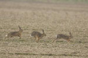 Der Feldhase (Wildtier des Jahres) reagiert besonders sensibel auf Veränderungen in seiner Lebensumwelt. Foto: Piclease/Richard Dorn