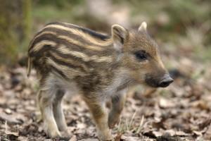 Frischlinge sind auf den Feldern und in den Wäldern auch schon unterwegs. Foto: piclease – freigegeben für Jägerschaft Burgdorf.