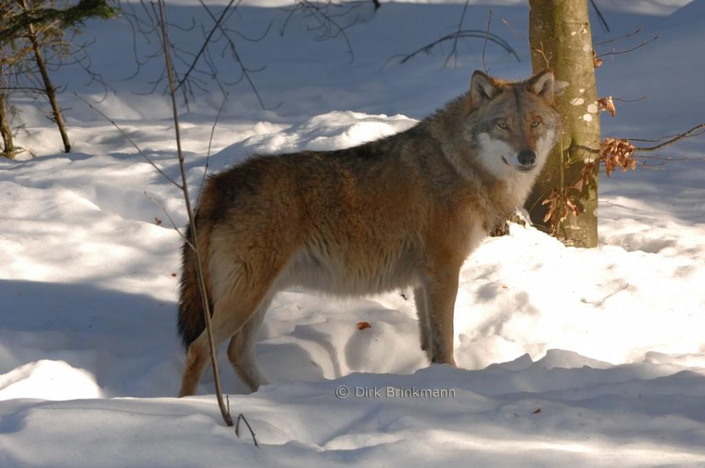 Beispielbild eines Wolfes. Foto: Dirk Brinkmann