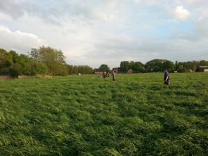 Durch hüfthohes Gras schreiten die Jäger auf der Suche nach Kitzen. Foto: Andreas Jesse