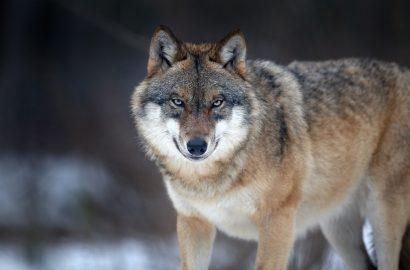 Vortrag: Der Wolf im Raum Burgdorf