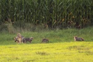 Die Wolfsfähe mit fünf der sechs Welpen. Foto: Privat