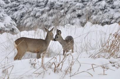 Rücksicht auf Wildtiere im Winter nehmen