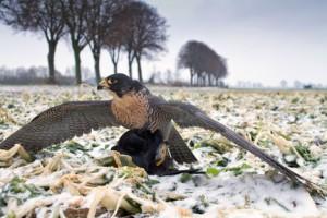 Wanderfalke mit Krähe im Winter. (Bild: Seifert/DVJ)
