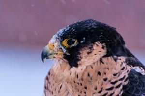 Verschneiter Wanderfalke: Mit einem harten Kälteeinbruch beginnt die Notzeit für Greife. (Bild: Seifert/DVJ)