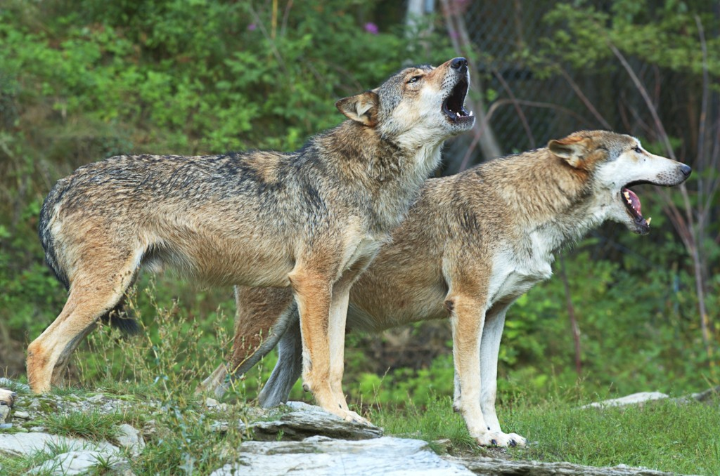 Die Jägerschaft Burgdorf möchte einen überfahrenen Wolf für Lehr- und Forschungszwecken präparieren lassen. Der Kadaver ist im Regionshaus Hannover allerdings unter mysteriösen Umständen verschwunden. Bild: piclease – Bildrechte liegen bei der Jägerschaft