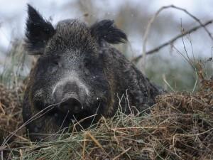 Profitiert vom Klimawandel: das Wildschwein. Foto: Rolfes/DJV