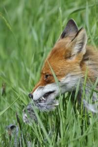 Der Fuchs ist ein anpassungsfähiger Raubsäuger. Die Bestände haben sich seit den 1970er Jahren verdreifacht.  Quelle: DJV