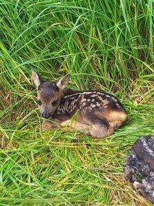 Rehkitze verstecken sich im hohen Gras und werden oft beim Mähen getötet oder verstümmelt. Foto: privat.