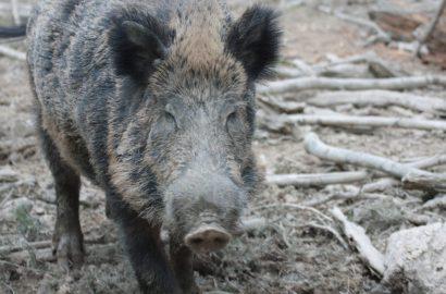 Offener Brief der Jägervereinigung Oberhessen zum Kampf gegen die Afrikanische Schweinepest